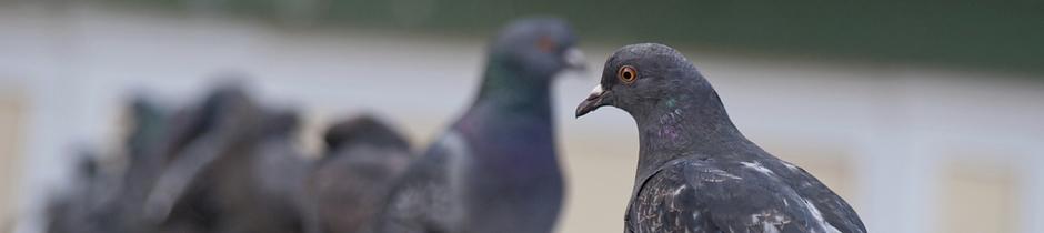 bloedluizen op duiven en siervogels